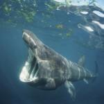 Basking shark by Gavin Pasons